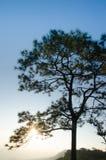 Árvores no por do sol: Silhueta Imagens de Stock