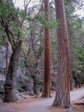 Árvores no vale de Yosemite Imagem de Stock Royalty Free