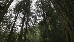 Árvores noroestes pacíficas da floresta úmida video estoque