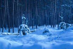 Árvores novas cobertas com a neve na perspectiva dos troncos altos de pinhos misteriosos Fotografia de Stock Royalty Free