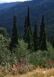 Árvores novas das coníferas em uma paisagem da montanha imagem de stock royalty free