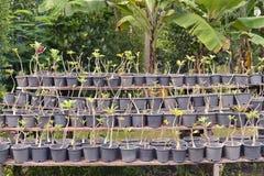 Árvores novas de Obesum do Adenium fotografia de stock