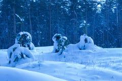 Árvores novas do inverno brilhante contra o contexto de uma floresta do pinho Fotografia de Stock Royalty Free