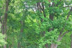 Árvores novas dos carvalhos Imagens de Stock Royalty Free