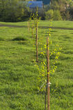 Árvores novas no por do sol Imagem de Stock Royalty Free