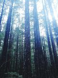 Árvores pacíficas Imagem de Stock