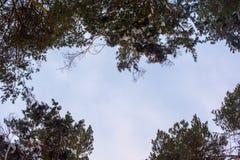 Árvores para cima ao céu Luz solar em troncos das árvores quadro no formulário do coração Imagem de Stock Royalty Free