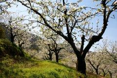 Árvores pretas da flor de cerejeira Fotos de Stock