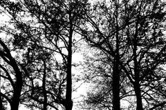 Árvores pretas da silhueta contra um fundo branco Imagem de Stock Royalty Free