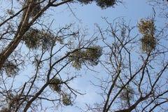 Árvores que abraçam o céu Fotografia de Stock