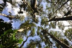 Árvores que alcançam para o céu Fotos de Stock