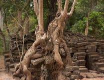 Árvores que crescem entre tijolos em uma floresta na área de templos famosa de Angkor do UNESCO imagens de stock