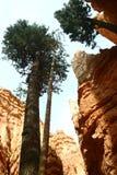 Árvores que grwoing entre penhascos Imagens de Stock
