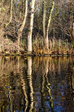 Árvores que miroring na água Fotos de Stock