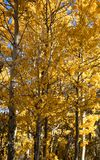 Árvores que mostram cores da queda - bispo California Fotos de Stock Royalty Free