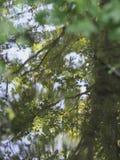 Árvores que refletem em uma lagoa Fotos de Stock Royalty Free
