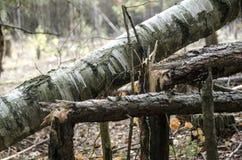 Árvores quebradas na tempestade na floresta do Polônia foto de stock royalty free