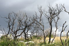 Árvores queimadas Imagens de Stock
