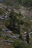 Árvores queimadas e novas, Mount Saint Helens, Washington Imagem de Stock