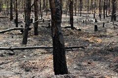 Árvores queimadas na floresta Fotografia de Stock