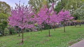 Árvores roxas Fotografia de Stock Royalty Free