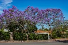 Árvores roxas vibrantes do Jacaranda na flor ao longo de uma rua em Queensland suburbano Austrália com telhados de telha das casa imagem de stock royalty free