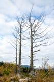 Árvores secadas contra o céu Fotos de Stock