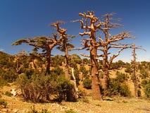 Árvores secas Imagens de Stock Royalty Free