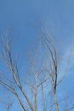 Árvores secas Fotografia de Stock Royalty Free