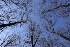 ?rvores sem as folhas contra o c?u azul sem nuvens em um dia de mola foto de stock
