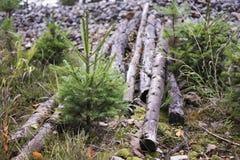 Árvores sempre-verdes novas que crescem ao lado dos logs cortados Fotografia de Stock Royalty Free