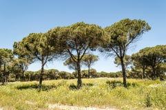 Árvores situadas em Barbate Imagens de Stock