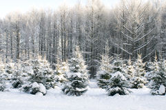 Árvores sob a neve fotos de stock