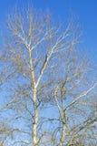 Árvores sobre o céu azul Fotos de Stock Royalty Free