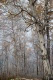 Árvores sonhadoras Fotografia de Stock Royalty Free