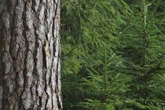 Árvores Spruce foto de stock royalty free