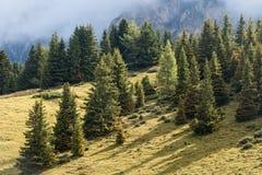 Árvores Spruce foto de stock