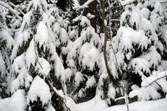 Árvores Spruce cobertas com a neve imagem de stock royalty free