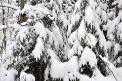 Árvores Spruce cobertas com a neve fotos de stock royalty free