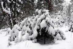 Árvores Spruce cobertas com a neve foto de stock royalty free