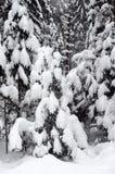 Árvores Spruce cobertas com a neve fotos de stock