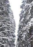 Árvores Spruce cobertas com a neve fotografia de stock royalty free