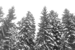 Árvores Spruce cobertas com a neve foto de stock