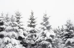 Árvores Spruce cobertas com a neve imagem de stock
