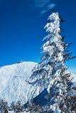 Árvores spruce cobertos de neve durante o inverno Imagens de Stock Royalty Free