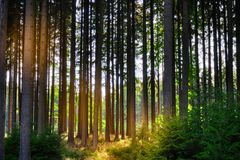 Árvores Spruce em uma floresta foto de stock