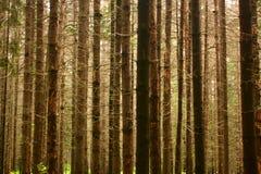 Árvores Spruce textura, fundo Imagem de Stock Royalty Free