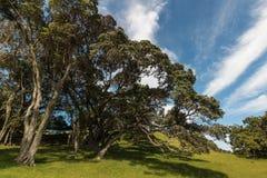 Árvores sulcado de Pohutukawa Foto de Stock Royalty Free