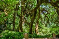 Árvores surpreendentes em uma floresta tropical, floresta de Hoh Rain, parque nacional olímpico, Washington EUA Imagem de Stock Royalty Free