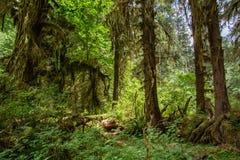 Árvores surpreendentes em uma floresta tropical, floresta de Hoh Rain, parque nacional olímpico, Washington EUA Fotografia de Stock